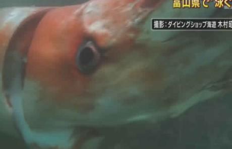 הדיונון הענק שהתגלה ביפן… מפחיד